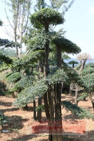 对节白蜡造型古树20