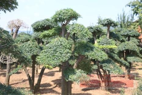 对节白蜡造型古树12