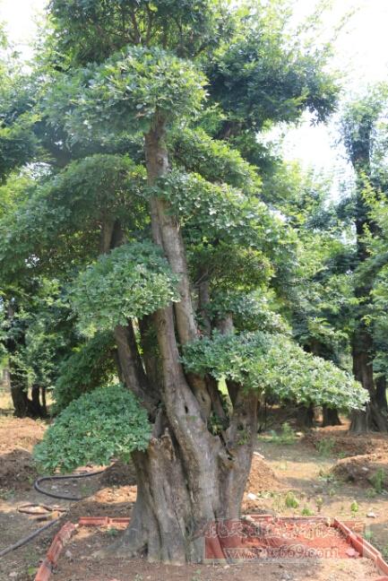 对节白蜡大树06