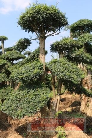 对节白蜡造型古树05