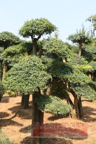 对节白蜡造型古树13