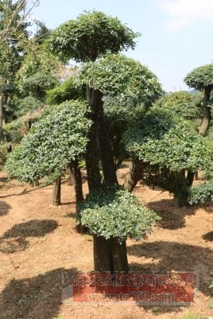 对节白蜡造型古树19
