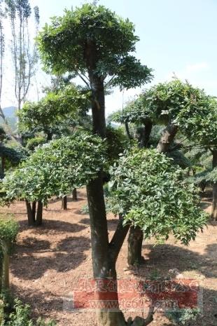 对节白蜡造型古树17