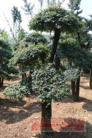 对节白蜡造型古树16