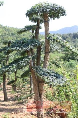 对节白蜡造型古树08