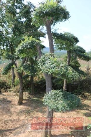 对节白蜡造型古树15