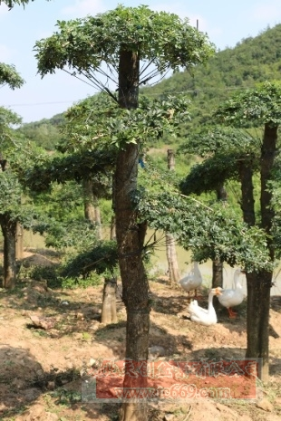 对节白蜡造型古树06