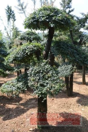 对节白蜡造型古树09