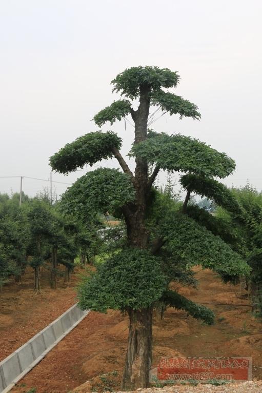 对节白蜡造型古树42