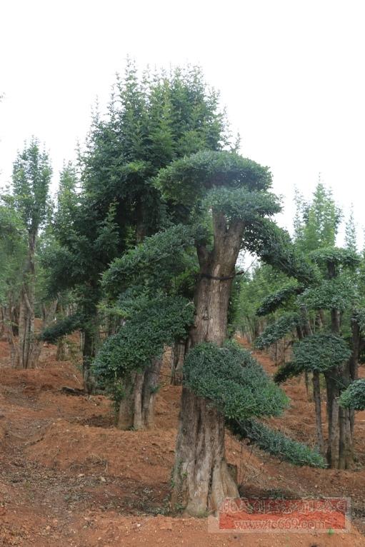 对节白蜡造型古树36