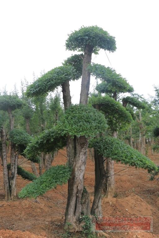 对节白蜡造型古树39