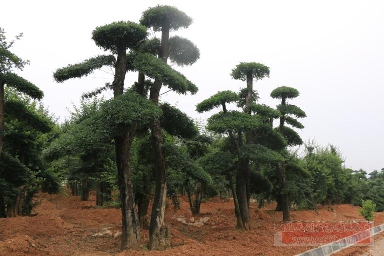 对节白蜡造型古树27
