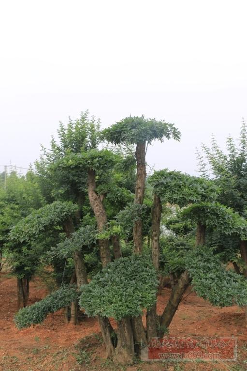 对节白蜡造型古树35