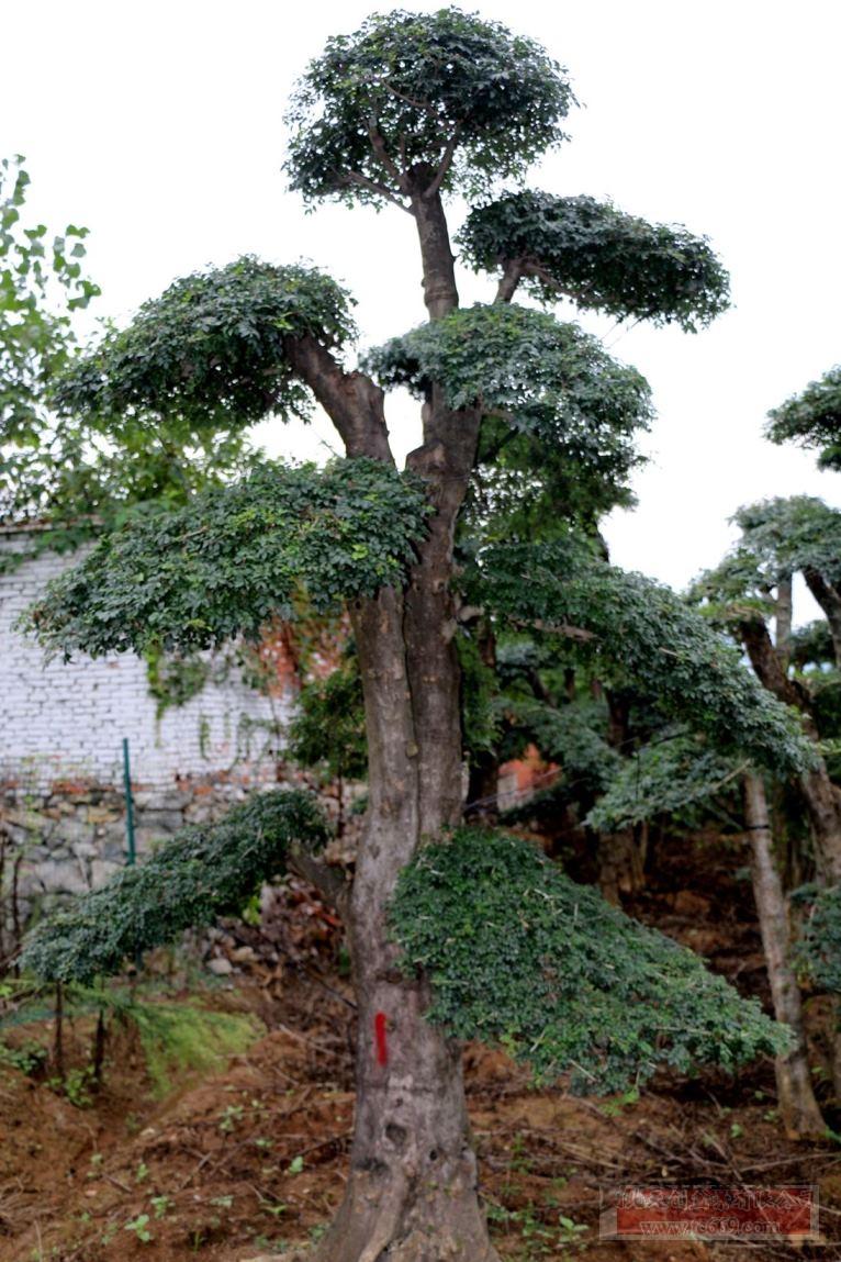 对节白蜡造型古树21