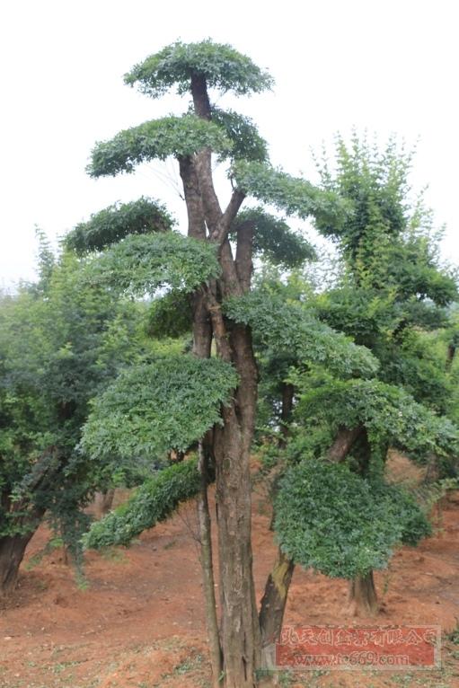 对节白蜡造型古树31