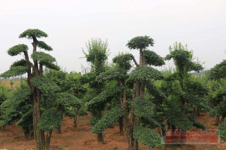 对节白蜡造型古树30