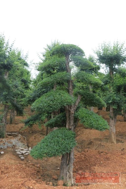 对节白蜡造型古树45