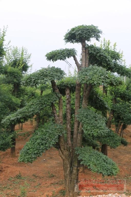 对节白蜡造型古树32
