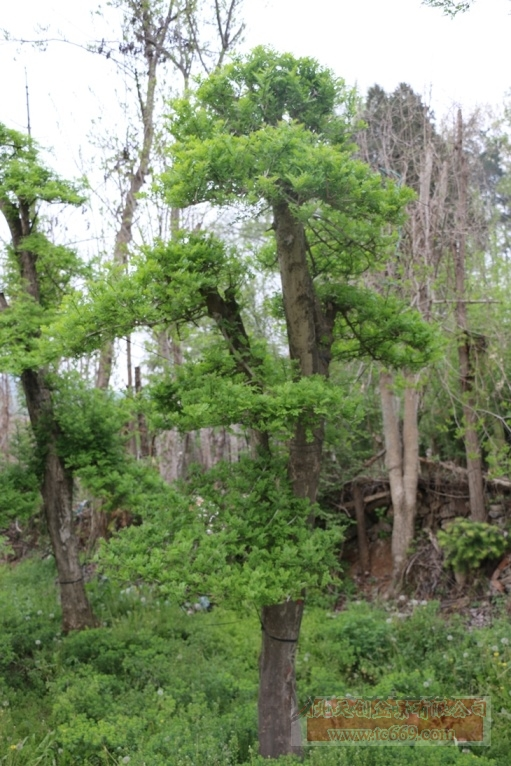 对节白蜡造型古树50