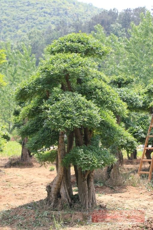 对节白蜡造型古树23