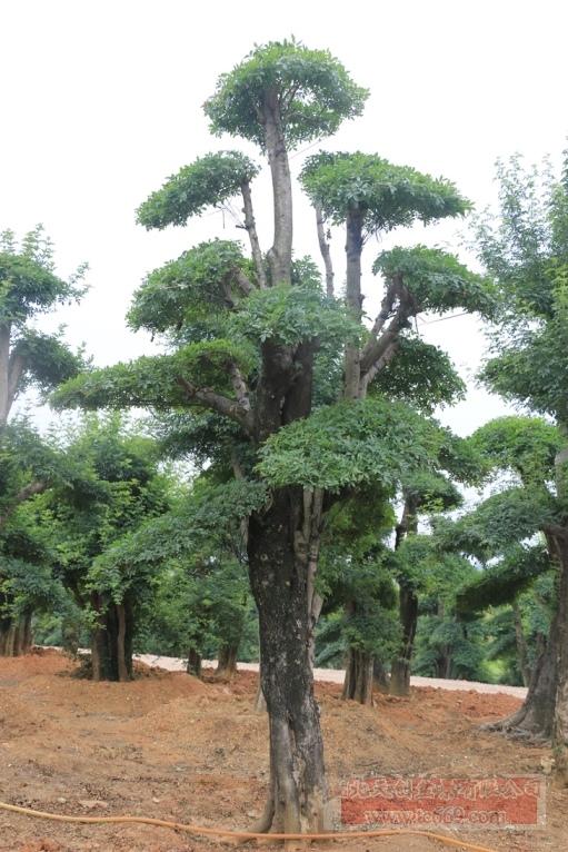 对节白蜡造型古树24