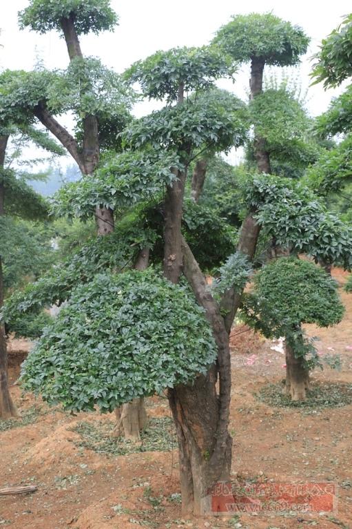 对节白蜡造型古树28