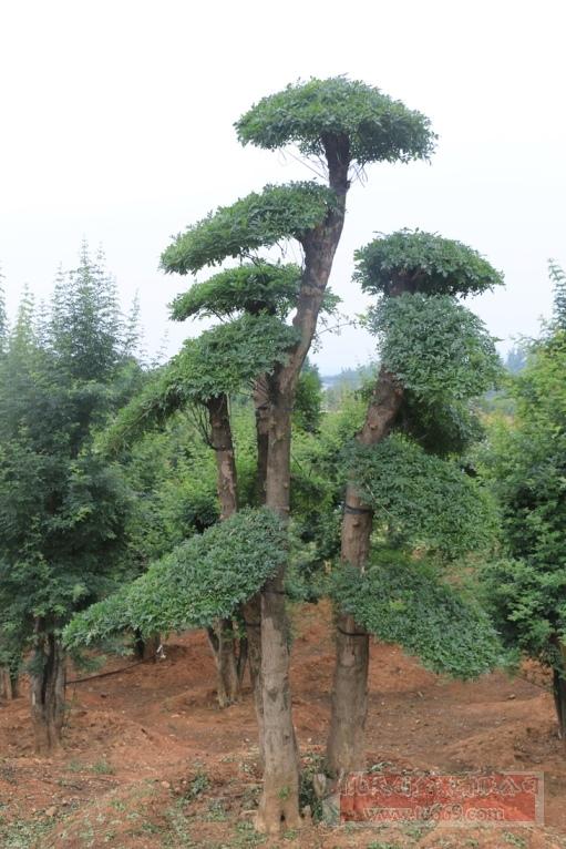 对节白蜡造型古树33