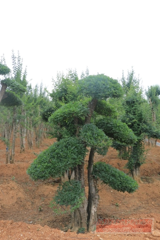 对节白蜡造型古树40