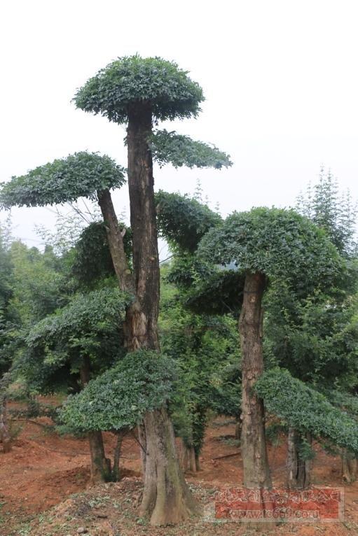 对节白蜡造型古树34