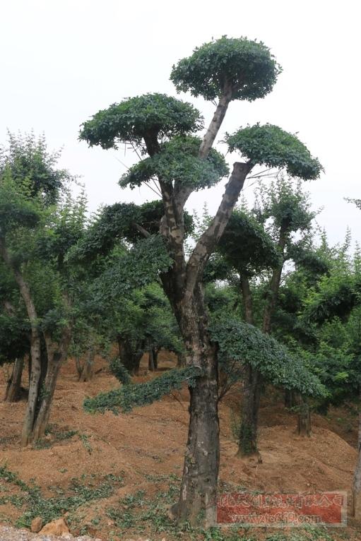 对节白蜡造型古树46