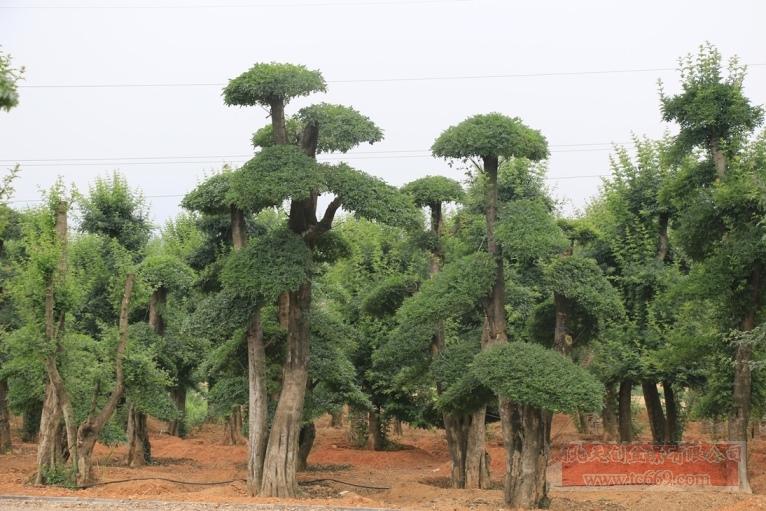 对节白蜡造型古树29