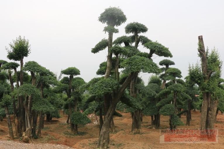 对节白蜡造型古树26