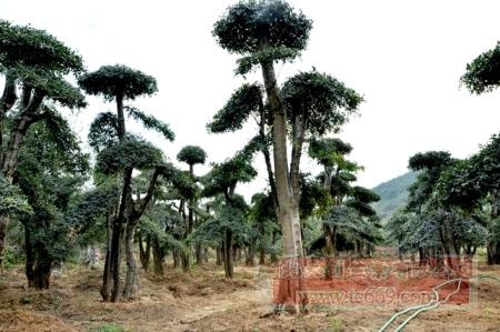对节白蜡造型古树49
