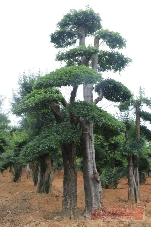 对节白蜡造型古树25
