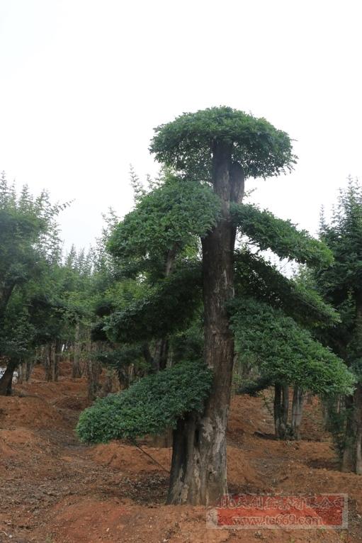 对节白蜡造型古树37