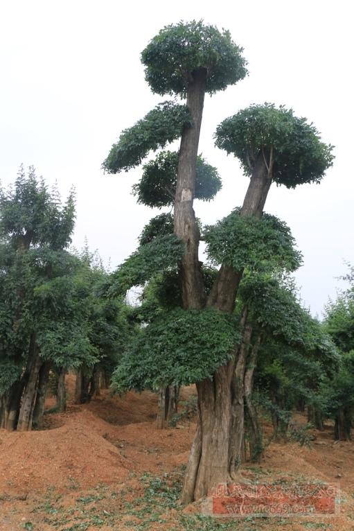 对节白蜡造型古树48