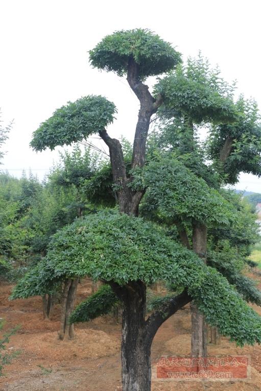 对节白蜡造型古树44