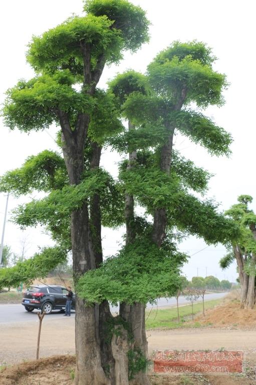 对节白蜡造型古树22